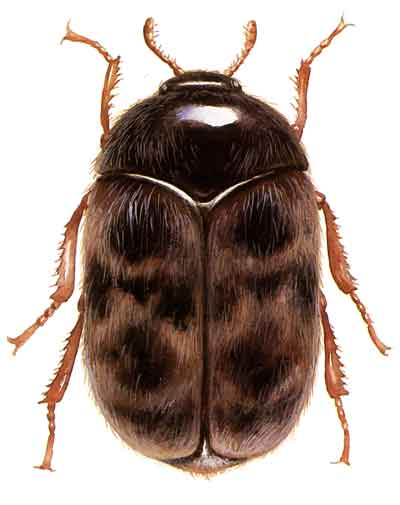 enlarged image of an adult khapra beetle against a white background