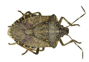 Adult Brown Marmorated Stink Bug viewed from above against a white backdrop